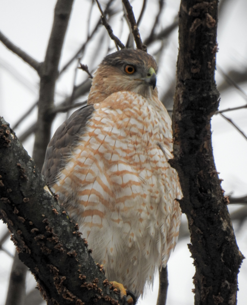 Cooper's Hawk Sitting in a Tree After a Failed Hunting Attempt