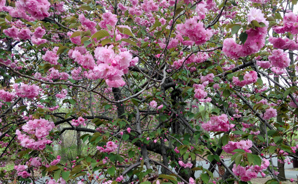 Spring Flowers on the Crab Apple Tree Out Front