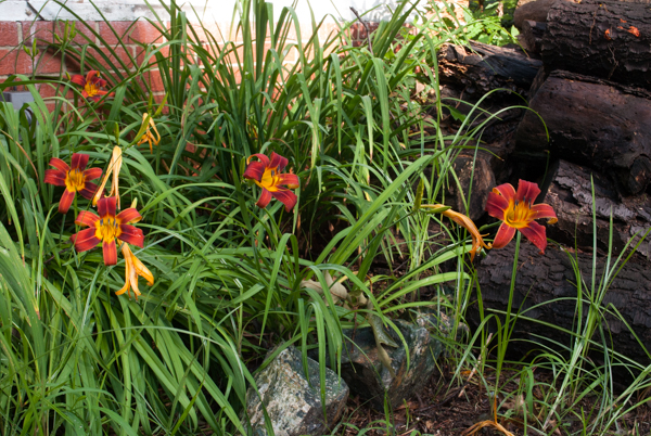 Day Lilies in the Yard