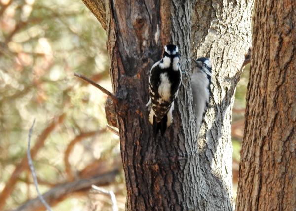 Downy Woodpecker Pair on Tree in Yard