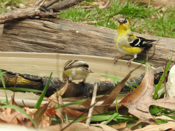 Small Birds Like these American Goldfinches Sit on the Side or a Branch.