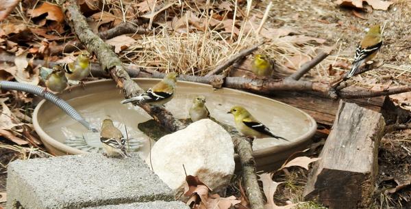 Goldfinches Enjoying the Birdbath