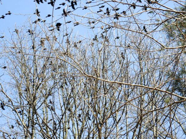 Flock of Common Grackles are a Sign of Spring