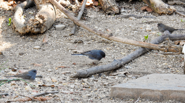 Dark-Eyed Juncos in the Yard. (Song Sparrow Hiding in the Back.)