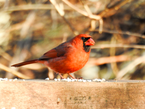 Male Cardinal eating safflower seed in the backyard