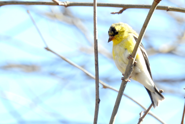 Male Goldfinch Molting From Non-Breeding to Breeding Colors