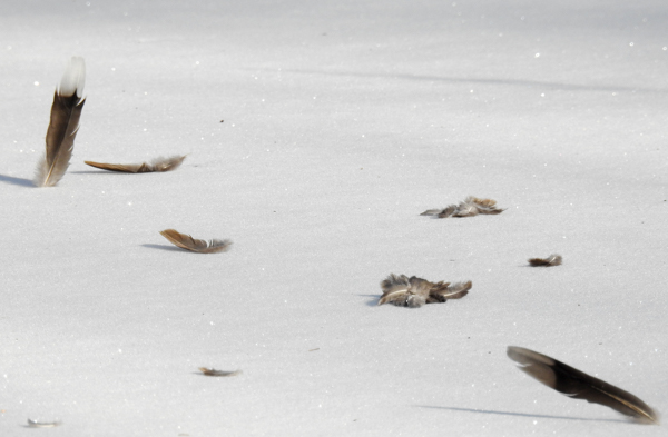 Mourning Dove Feathers in the Snow Suggest a Hawk Visit