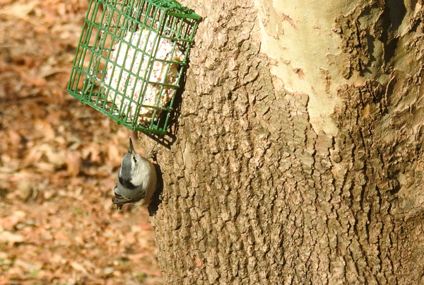 White-Breasted Nuthatch Eating Suet