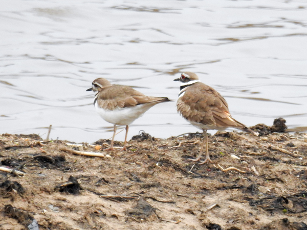 Pair of Killdeers Looking for Love at Patuxent Research Refuge