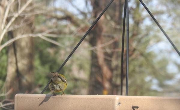 Pine Warbler on Hanging Platform Feeder