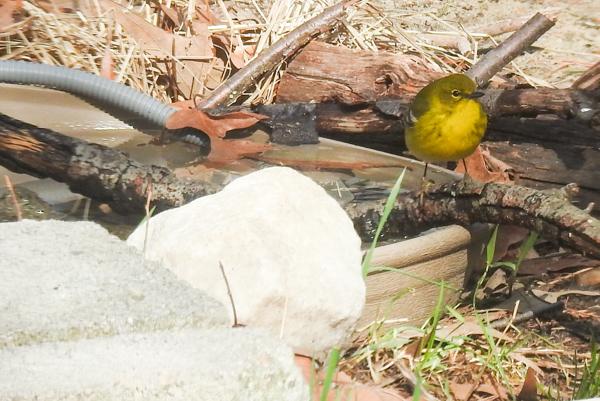 Pine Warbler at the Birdbath