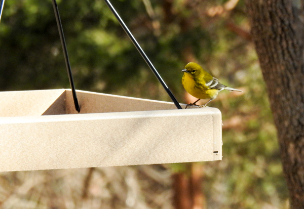 Pine Warbler on Hanging Platform Feeder