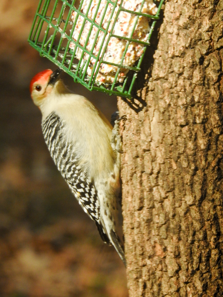 Red-Bellied Woodpecker Eating Suet