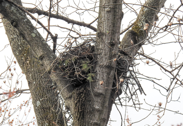A Red-Shouldered Hawk Nest high in a tree