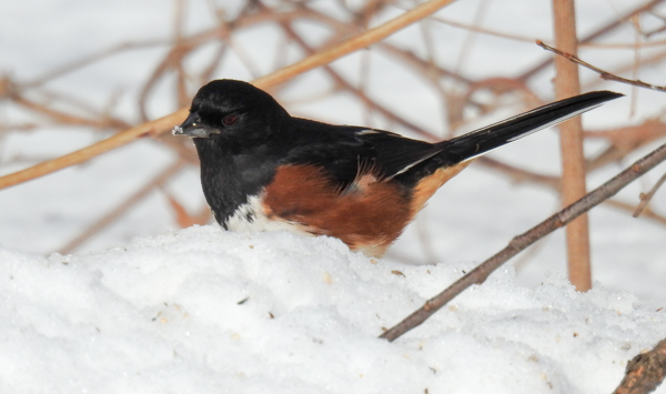 Same Eastern Towhee Picture with Quick Corrections via Lightroom