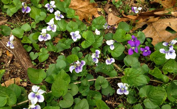 Violets in Yard