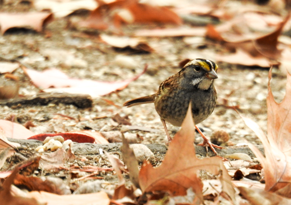 White-Throated Sparrow Rooting Around in the Leaves