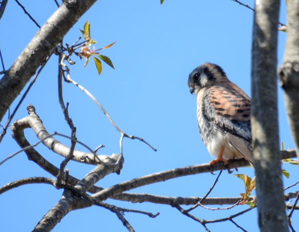 American Kestrel Scoping Out the Fields of Tipton Airport