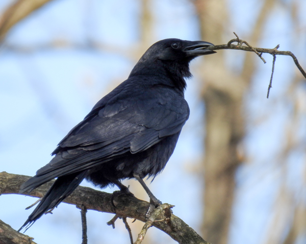 Fish Crow with a Twig