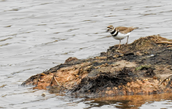Killdeer on One of the Little Islands on Patuxent North Tract's Merganser Pond