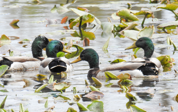 Mallards at Lake Allen at Patuxent Research Refuge