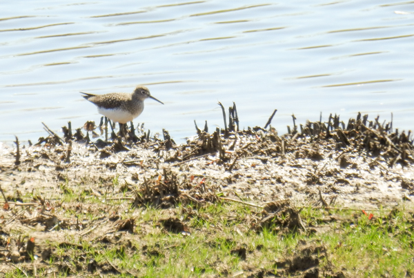 Solitary Sandpiper at Patuxent North Tract's Merganser Pond
