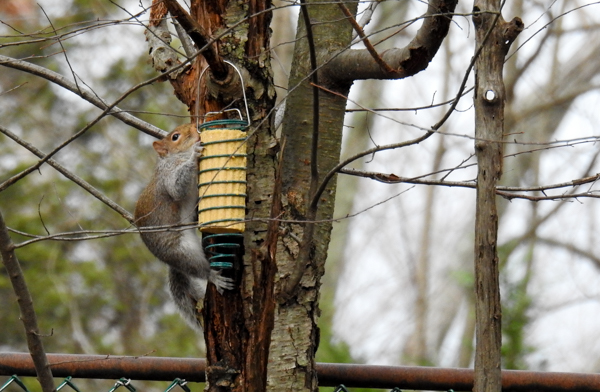 Squirrel Eating a Corn Squirrelog in Corn Trapper Feeder