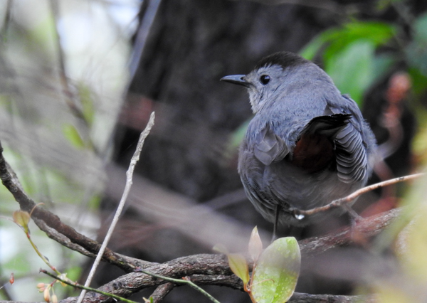 Gray Catbird near Lake Allen at Patuxent Research Refuge North Tract