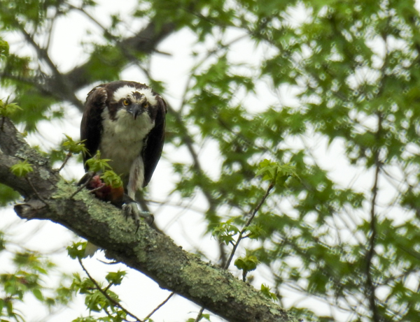 Osprey Eating a Fish at Patuxent Research Refuge North Tract