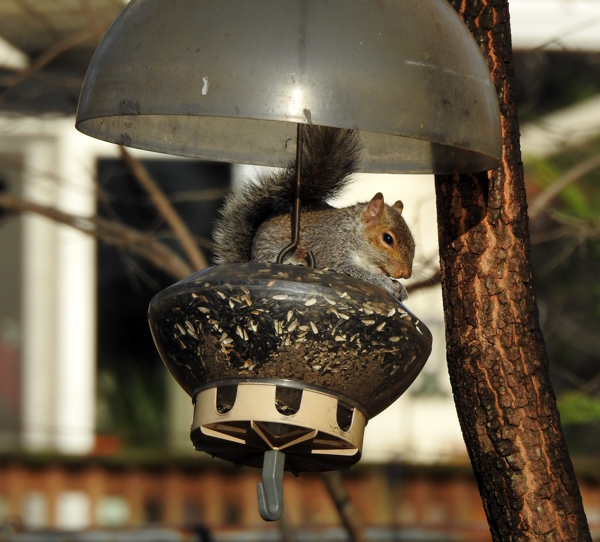 Squirrel Sitting in a Feeder