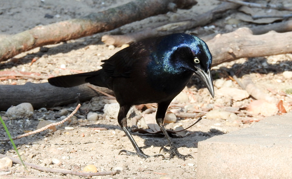 Common Grackle Looking For Seed on Ground