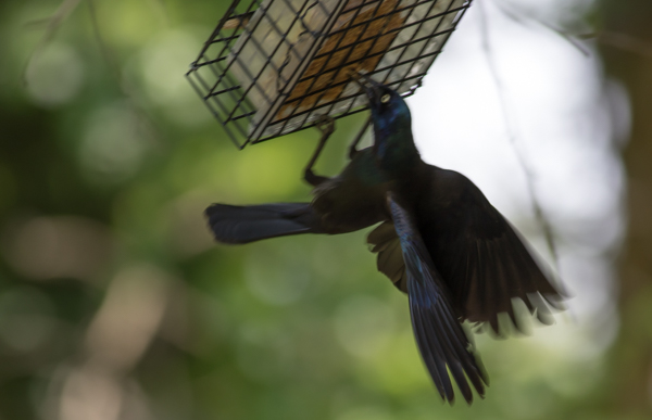Common Grackle Trying to Make a Quick Suet Grab