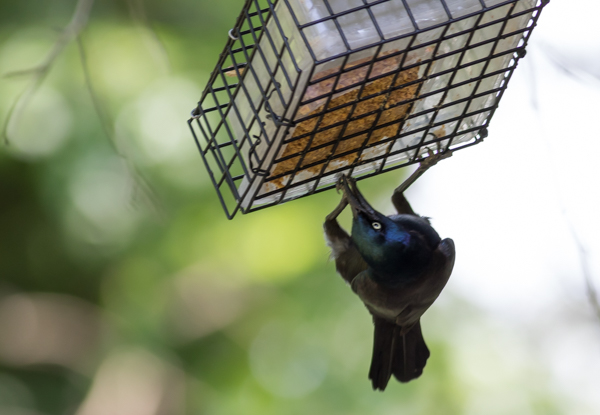 Common Grackle Dangling From Suet Feeder