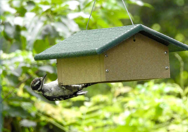 Juvenile Downy Woodpecker at suet feeder