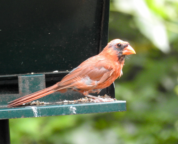 Bald Molting Northern Cardinal on feeder