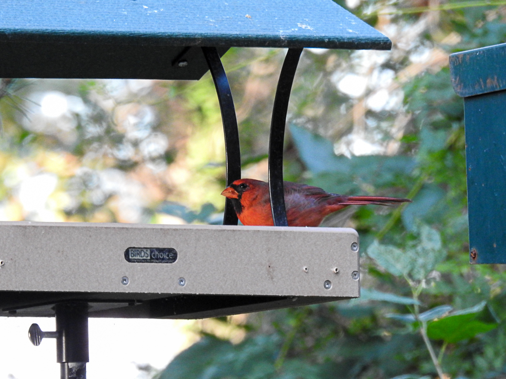 Northern Cardinal Enjoying Safflower in the Feeder Newly Installed on a Pole
