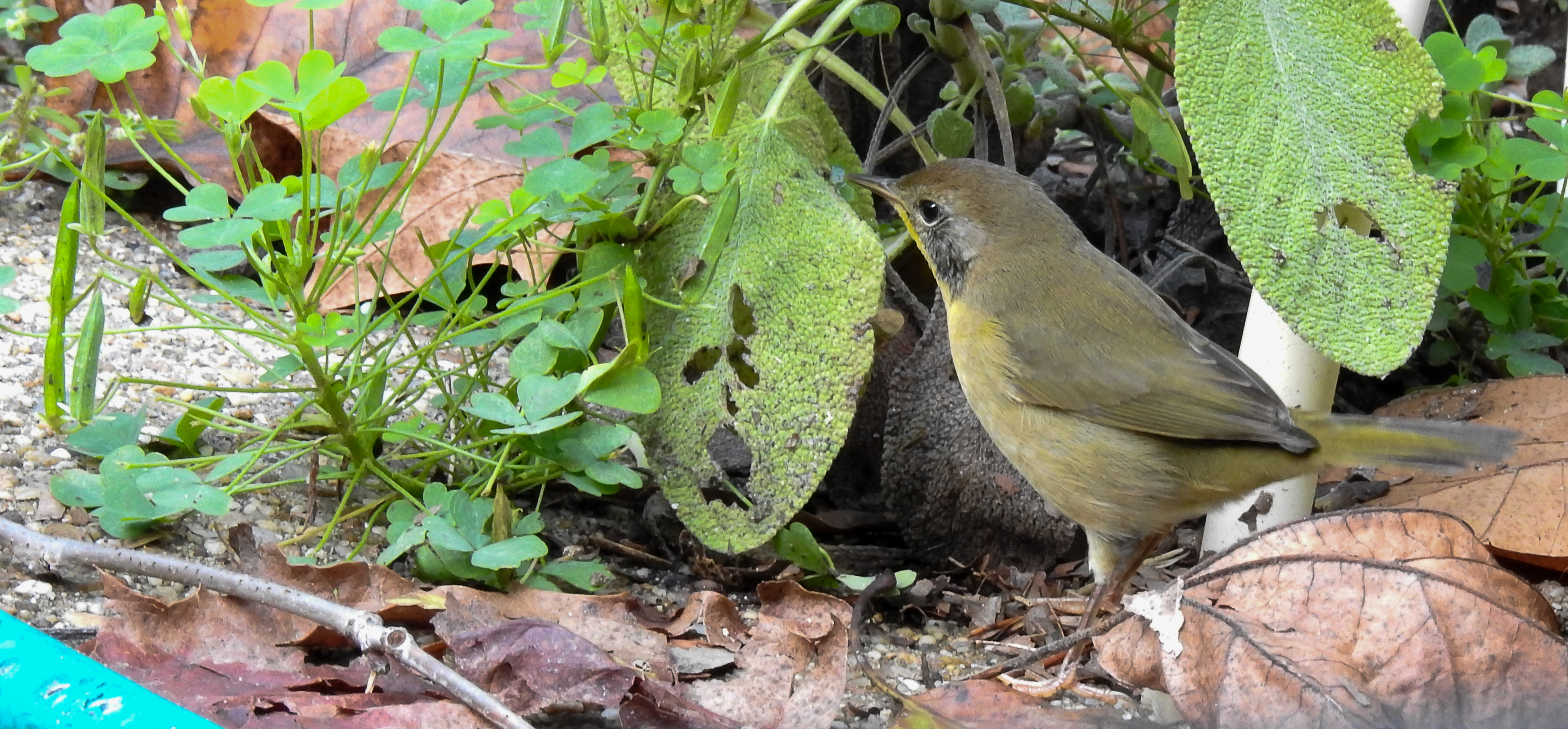 Juvenile Male Common Yellowthroat hunts bugs in herb garden