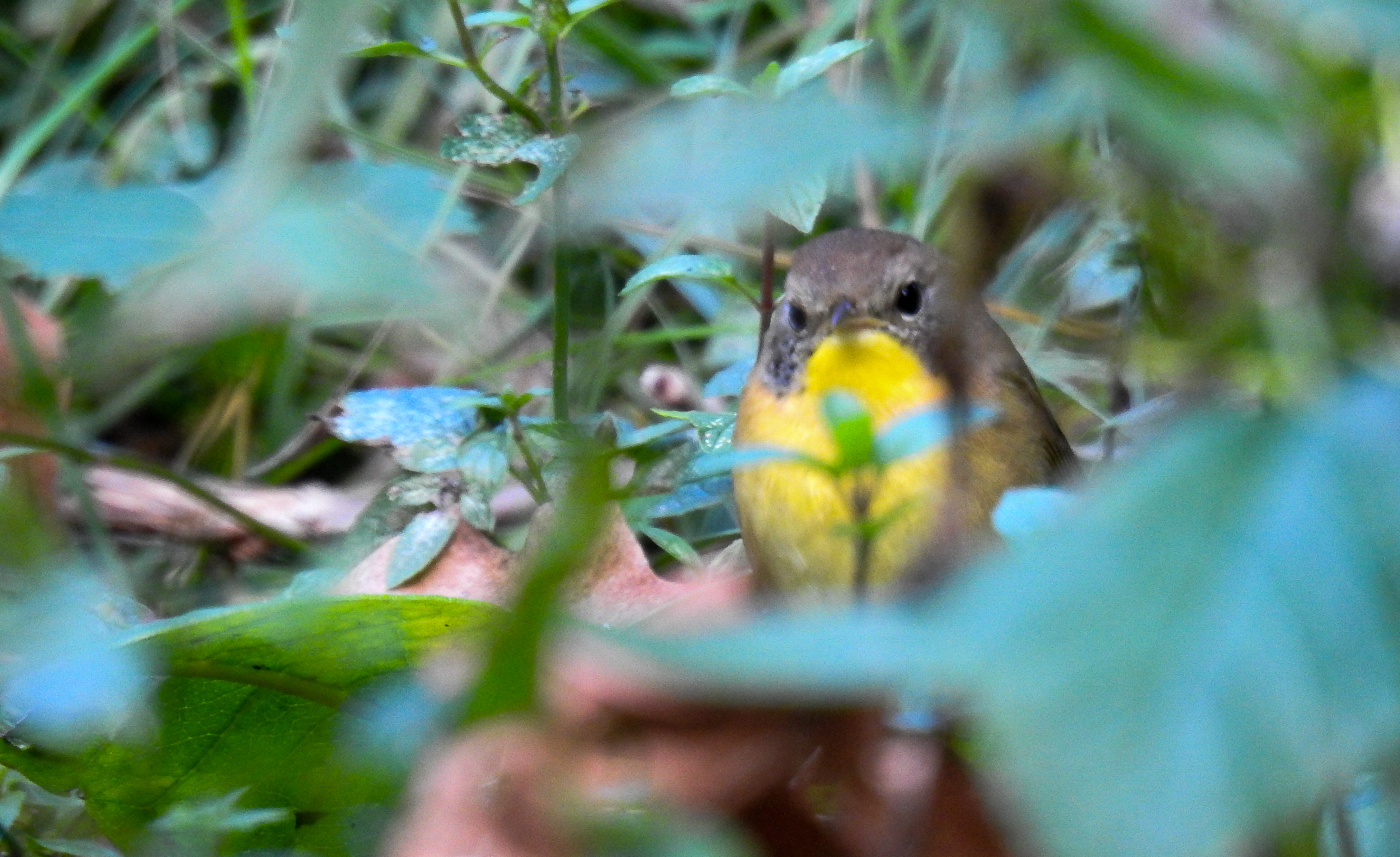 Juvenile Male Common Yellowthroat in the Fall Herb Garden