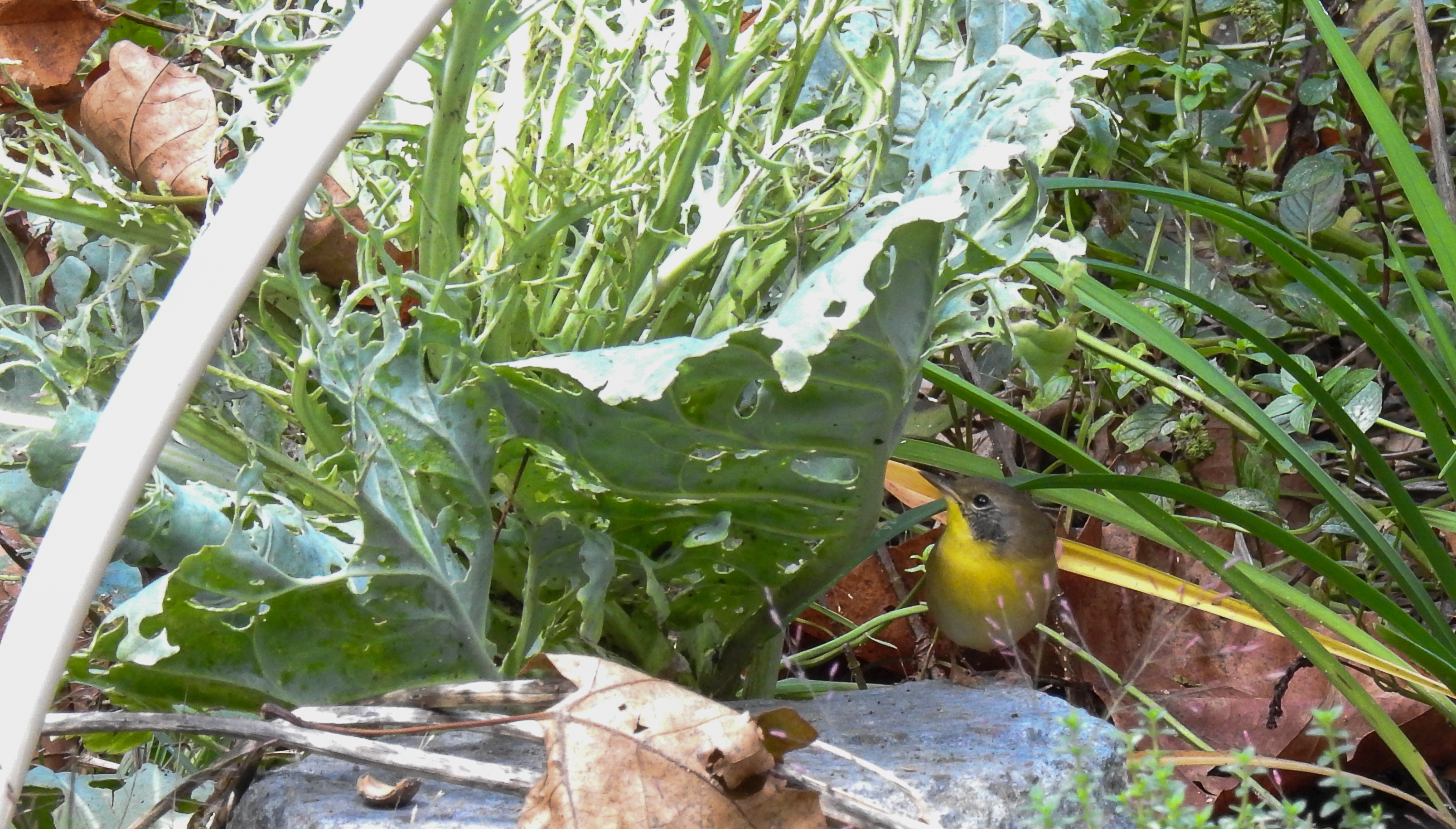 Young Male Common Yellowthroat Hunting Insects in the Collards