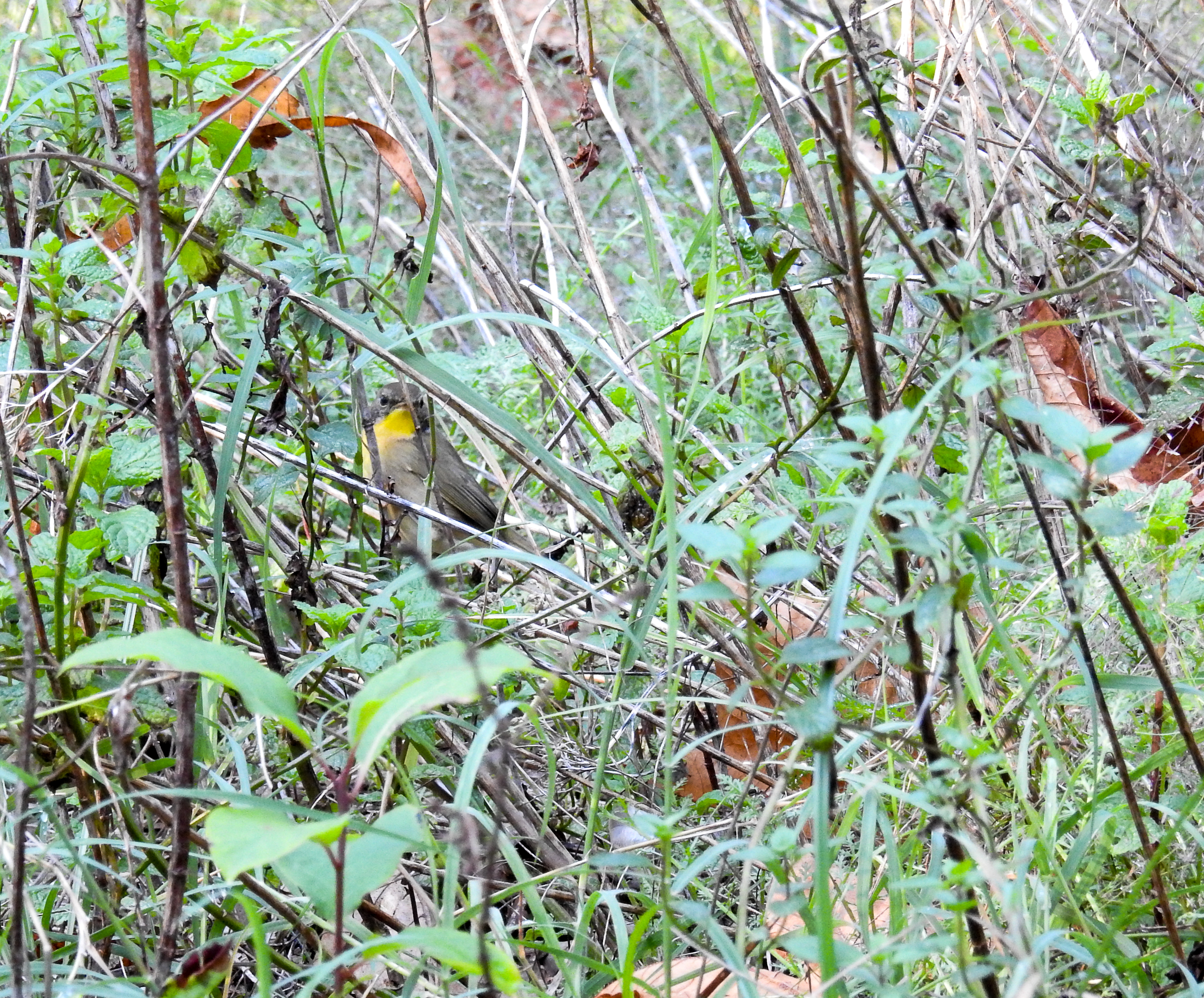 Juvenile Male Common Yellowthroat in a weedy patch