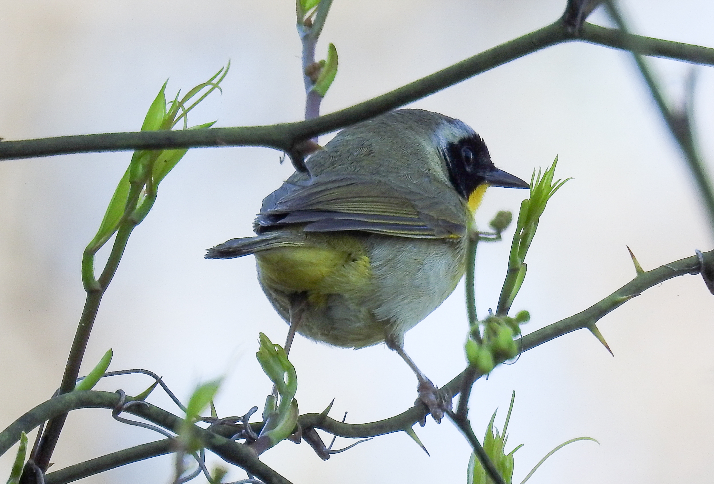 An Adult Male Common Yellowthroat at Patuxent in April