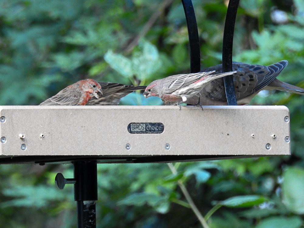 "House Finches and Mourning Doves Enjoying the ""New"" Feeder"