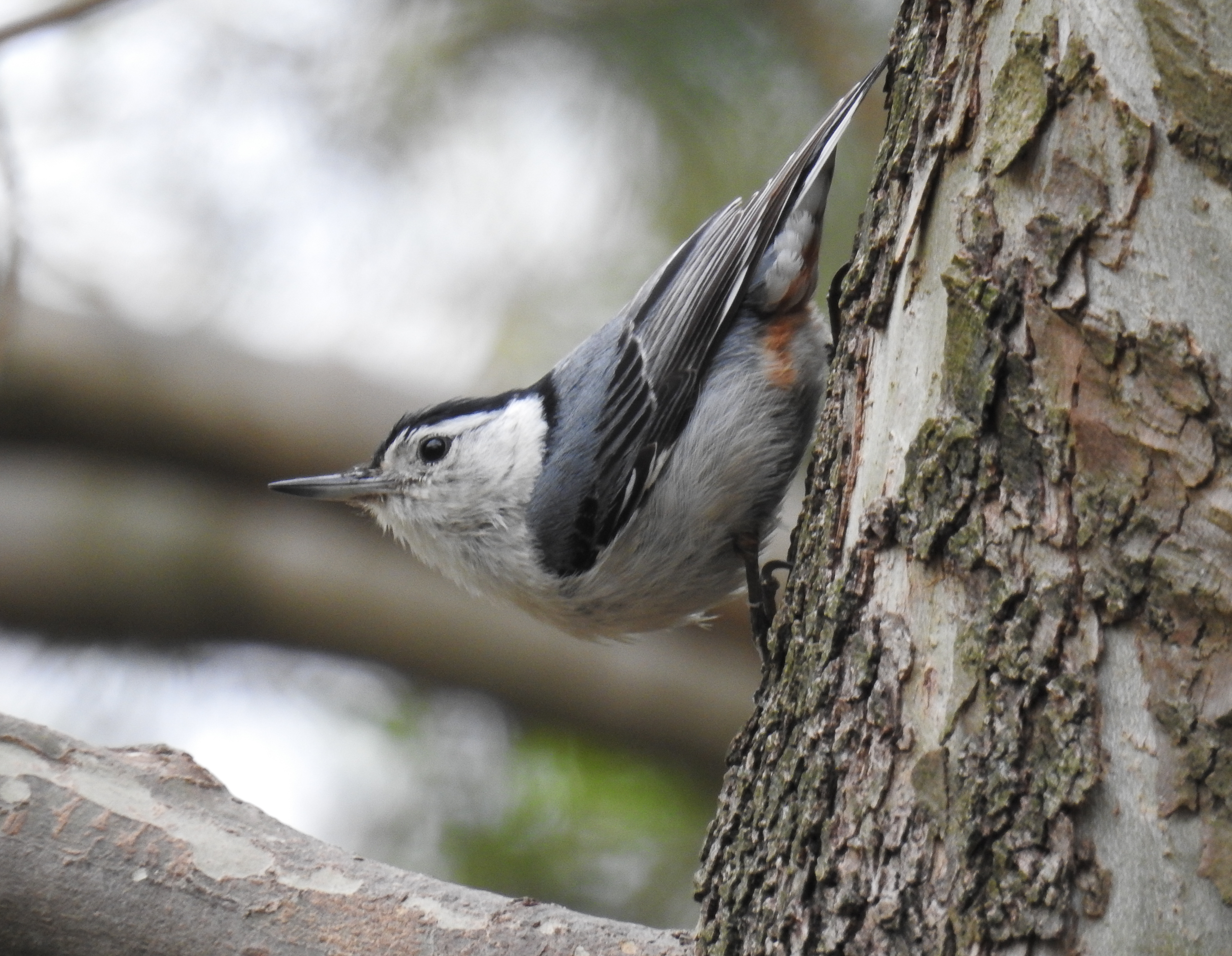 A White-Breasted Nuthatch on the Sycamore Tree