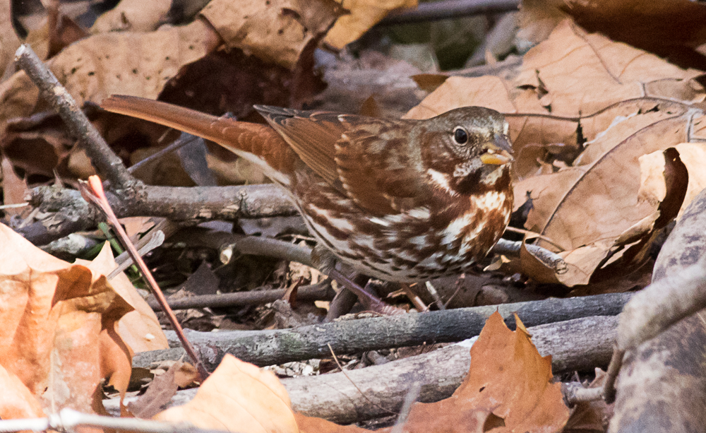 Fox Sparrow in Fallen Leaves