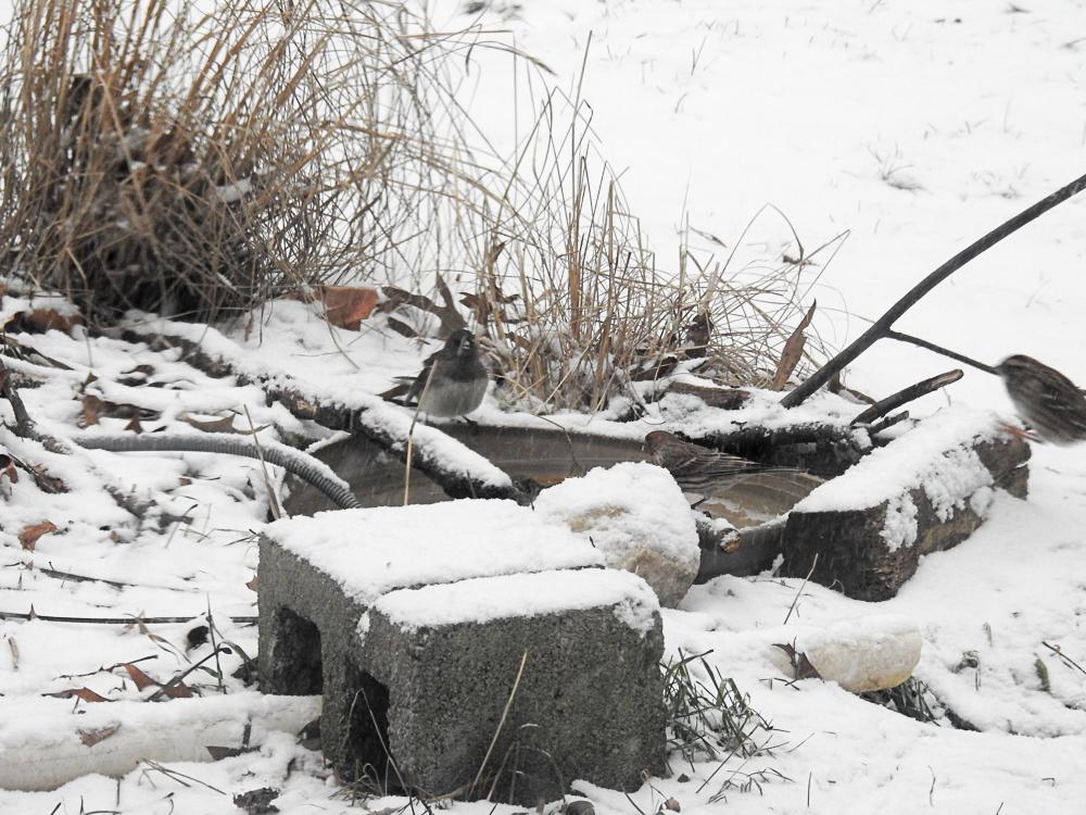A Junco, House Finch and Sparrow Enjoying a Warm Birdbath Last Winter