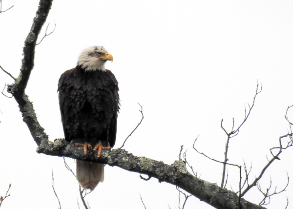 Bald Eagle (Patuxent Research Refuge North Tract, Maryland 2016)