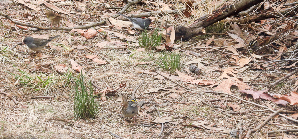 Dark-Eyed Juncos and White-Throated Sparrows
