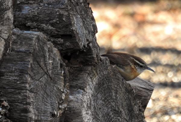 Carolina Wren on the Wood Pile