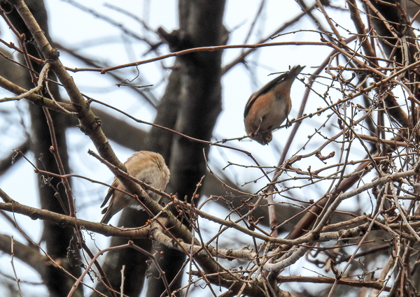 American Goldfinches in Vines on Tree