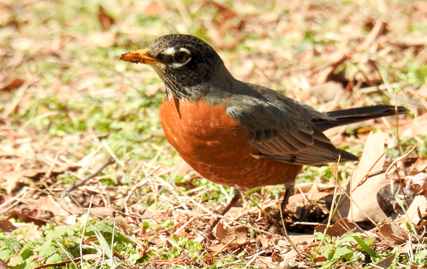 American Robin Hunting For Worms